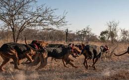 Chó được huấn luyện để bảo vệ động vật hoang dã đã cứu được 45 con tê giác khỏi những kẻ săn trộm