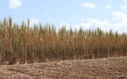 Thương lái vắng bóng 150 ha mía có nguy cơ chết khô