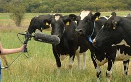 Đàn bò dẫm phải cáp quang, cả trung tâm dữ liệu của Google bị mất kết nối Internet!