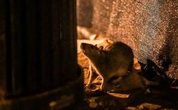 Covid-19 đang khiến chuột phát điên: Ăn thịt đồng loại vì quá đói, cả ô tô cũng thành 'mồi nhắm'
