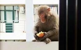 Lũ khỉ thong thả xâm chiếm trường học và lời cảnh báo 'dở khóc dở cười': Đừng cho chúng ăn để tránh bị tấn công, các em đánh không lại đâu!