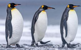 Nghiên cứu mới: Phân chim cánh cụt tạo ra khí gây cười, hít thở không khí trong khu vực thôi cũng đủ 'quặn ruột'