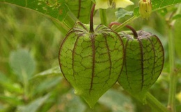 """Đây là loại quả mà người Việt chỉ coi là cỏ dại, sang Nhật được tôn như """"thảo dược quý"""" chữa đủ thứ bệnh, bán giá 700k/kg vẫn cháy hàng"""