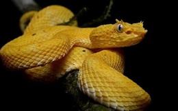 """Cận cảnh """"nụ hôn"""" thần chết của loài rắn độc nhất thế giới"""