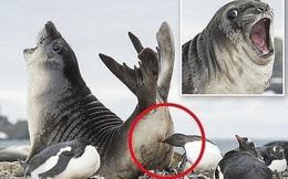 """Lấy thịt đè người thất bại, chú hải cẩu hốt hoảng khi bị chim cánh cụt """"đớp"""" bất ngờ sau mông, và gương mặt ấy đang nổi nhất thế giới động vật"""