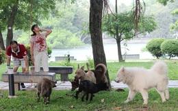 Hà Nội: Chó dữ không rọ mõm thả rông nhan nhản trong mùa dại