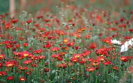 Chùm ảnh: Làng hoa Mê Linh ngày giáp Tết