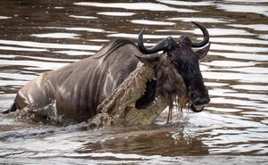 Thót tim trước khoảnh khắc cá sấu sông Nile phục kích linh dương đầu bò