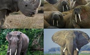 Top 5 loài động vật có kích thước 'khủng' nhất trên mặt đất