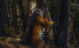 Bộ sưu tập ảnh thiên nhiên của năm: Hổ Siberia ôm cây, chú khỉ 'chill' và con kiến bám lấy bọ cánh cam