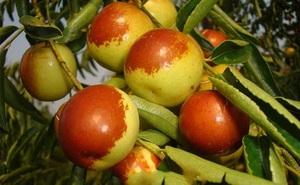 Cổ nhân nói: Ngày ăn 3 quả táo tàu đỏ có thể sống tới 99 tuổi, bí mật bên trong là gì?