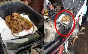 """Mở cốp sửa xe, người thợ """"đứng hình"""" phát hiện đàn rắn quây quần bên trong"""