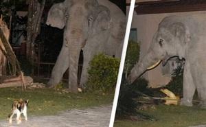 Mò vào nhà dân tìm đồ ăn, chú voi nặng 4 tấn bị mèo con rượt đuổi chạy tóe khói