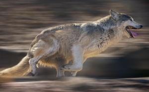 Rình rập bên ngoài nhà dân để kiếm ăn, chó sói hoảng sợ chạy bán sống bán chết vì tiếng nói vọng ra từ trong nhà