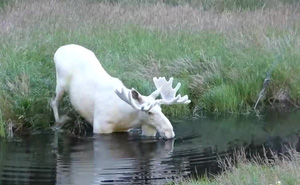 """Clip: Nai """"thần tiên"""" bất ngờ xuất hiện trong hồ nước Thụy Điển"""