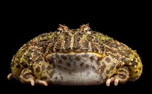 Loài ếch nào miệng chiếm 2/3 cơ thể, ăn thịt hung dữ?