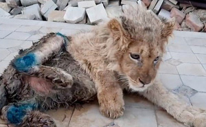 Bức ảnh sư tử con bị bẻ gãy chân để nằm yên cho khách du lịch chụp ảnh gây phẫn nộ dư luận, Tổng thống Nga cũng lên tiếng
