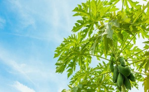 Lợi ích sức khỏe của nước lá đu đủ