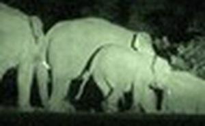 Tháo chạy vì voi rừng