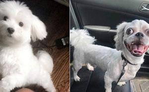Nhờ anh trai dắt cún cưng xinh xắn đi dạo, cô gái khóc thét khi quay về lại là một con chó lạ mắt trố như tranh trừu tượng
