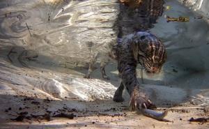 Video: Những cuộc săn lùng cá dưới nước của loài mèo hoang dã thích bơi lặn