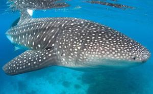 Loài cá mập này có răng mọc trong… nhãn cầu