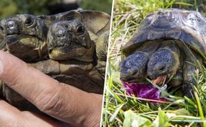 Rùa hai đầu sống lâu nhất thế giới sắp bước sang tuổi 23