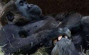Những lần di truyền lỗi ở động vật cho ra kết quả cực hiếm thấy: Khỉ 'tay người', vịt 'hoàng tộc', chó bạch tạng