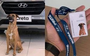 Showroom Hyundai nhận chó hoang vào làm việc, bao ăn ở và thăng chức 2 lần trong 3 tháng