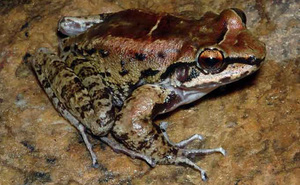 Ếch Brazil là loài lưỡng cư đầu tiên được biết đến sống theo hình thức đa thê với 2 bạn tình 'chung thủy'
