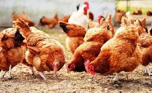 """Hàng xóm liên tục bị mất gà, bức xúc đòi giết """"đối tượng tình nghi"""", tình huống xảy ra sau đó khiến bao người suy ngẫm"""