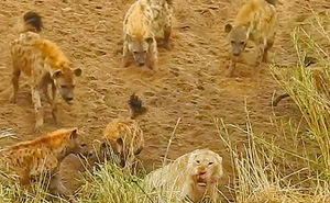 Bầy linh cẩu trả giá đắt vì cả gan tấn công sư tử