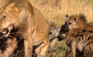 """Clip: """"Đi lạc"""" vào lãnh thổ bầy linh cẩu, sư tử cái bị đánh hội đồng và màn giải cứu ngoạn mục"""