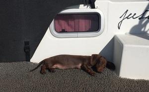 Chú chó vượt 16.000 km tìm về với chủ nhân sau 5 tháng mắc kẹt ở Mỹ do COVID-19