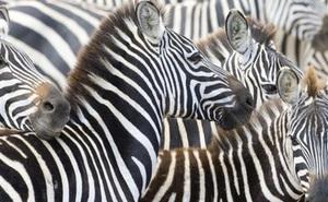 Vì lý do gì mà con ngựa vằn lại có vằn trên người?