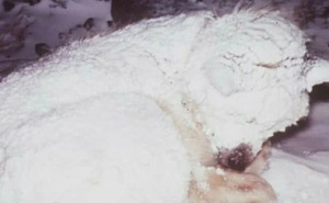 Thấy con chó co ro trong tuyết lạnh, người dân chạy đến cứu thì sững sờ với thứ nó giấu bên dưới