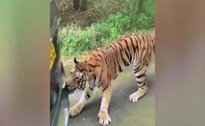 """Video: Hổ cố """"ăn thịt"""" xe hơi một cách khó hiểu"""