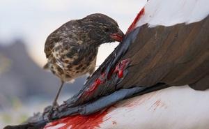 Bằng chứng nghiệt ngã của tiến hóa: Chim sẻ cũng phải trở thành loài hút máu để tồn tại
