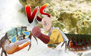 Tôm búa - Loài 'phồng tôm' mạnh nhất đại dương, tung một cú đấm với gia tốc như đạn bắn