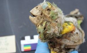 Cuộc đời khốn khổ của những con chim sinh ra ở rừng Amazon và trở thành xác ướp trong sa mạc Atacama