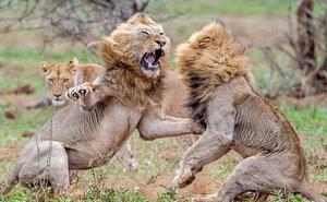 Tại sao sư tử sống thành đàn còn hổ sống đơn lẻ?