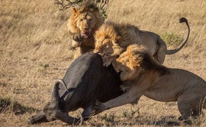 So sánh hành vi săn mồi của sư tử, hổ và báo đốm cho thấy sự khác biệt về giải phẫu của ba loài mèo lớn!