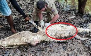Thấy bụng cá sấu khổng lồ phình to, người dân đánh bắt mổ ra kiểm tra thì chứng kiến cảnh tượng gây ám ảnh cả đời