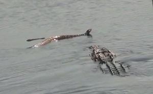 """Clip: Cá sấu """"xơi tái"""" rắn độc khổng lồ"""