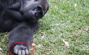 """Khỉ đột bỗng nổi điên không cho ai đến gần, chân tướng sự việc khiến trái tim mọi người đều """"tan chảy"""""""