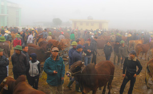Năm Sửu ghé chợ trâu, bò lớn nhất vùng Bắc Trung Bộ, mỗi phiên giao dịch cả nghìn con