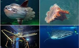 Những động vật nào 'khủng' nhất dưới đại dương?