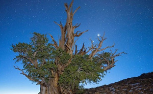 Khám phá 7 cây có tuổi thọ 'khủng' nhất thế giới từng được con người phát hiện
