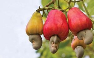 Có 1 loại trái cây dù ăn hạt suốt ngày nhưng hiếm người từng được thử ăn quả
