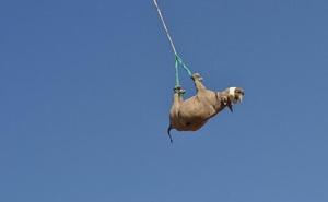 """Điều thần kỳ xuất hiện khi tê giác bay lộn ngược: Yếu tố """"sống còn"""" cho loài vật bên bờ tuyệt chủng"""